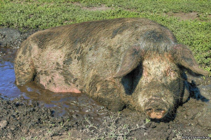 свинья диетолог